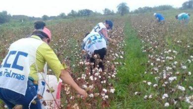 Photo of Se concretó la primera cosecha  de algodón agroecológico
