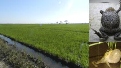 Photo of Probaron el impacto de los agrotóxicos en anfibios de arroceras de Chaco